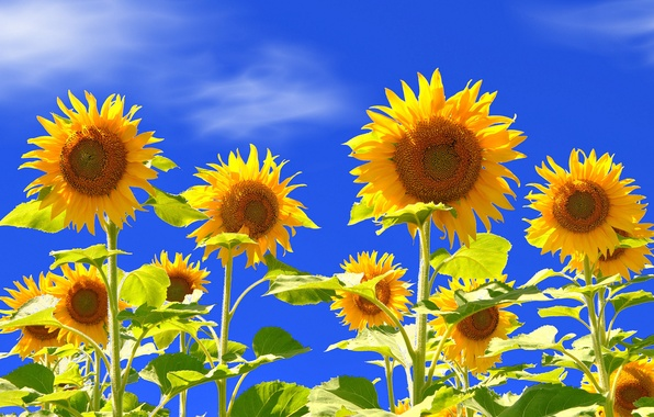 Picture field, the sky, leaves, sunflower, petals