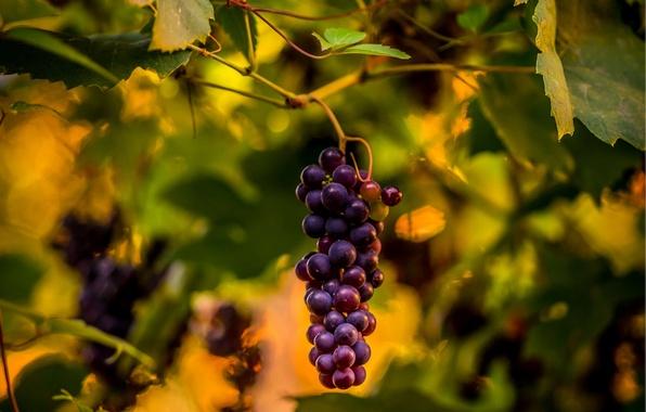 Picture macro, grapes, bunch, vine