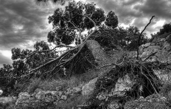 Picture tree, root, frame, fallen, black and white