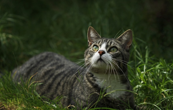 Picture cat, grass, look, green-eyed