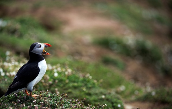 Picture photo, bird, blur, bokeh, Atlantic puffin