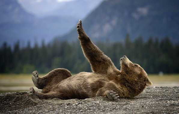 Picture nature, animal, earth, predator, Alaska, Bear, lies, Grizzly
