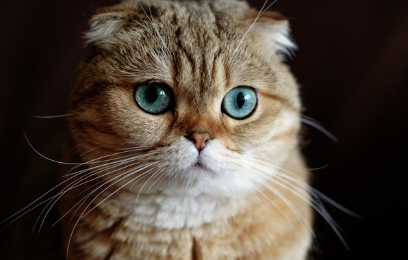 Picture cat, look, muzzle, black background, Scottish fold, Scottish fold cat