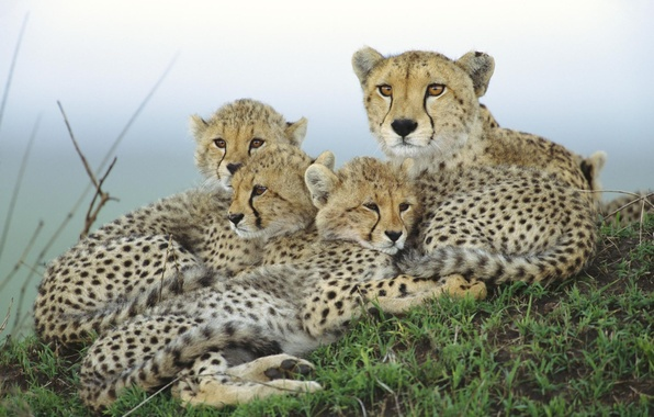 Picture family, Cheetah, cubs, mother
