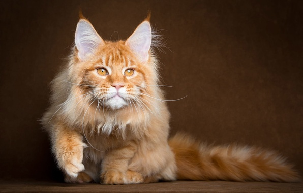 Picture fluffy, Cat, red, Maine Coon