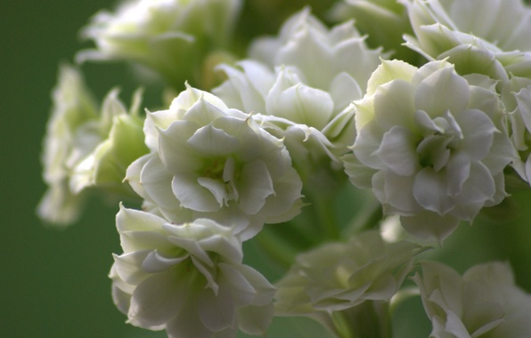 Picture flower, nature, petals, inflorescence