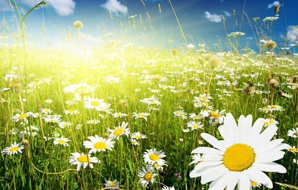 Picture greens, field, the sky, grass, clouds, flowers, chamomile, spikelets, white, Sunny