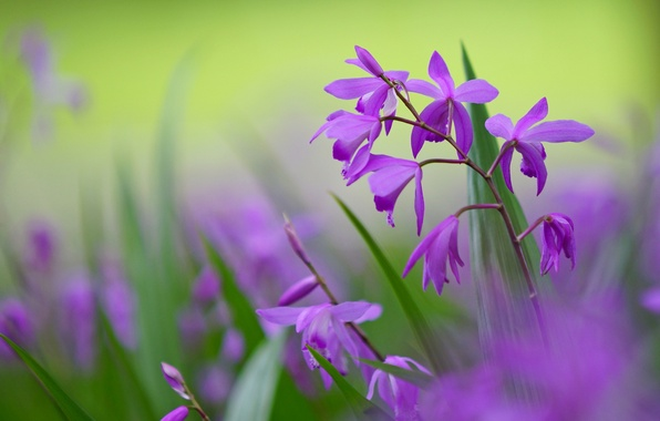 Picture macro, flowers, background, petals, blur, green, lilac, Bletilla