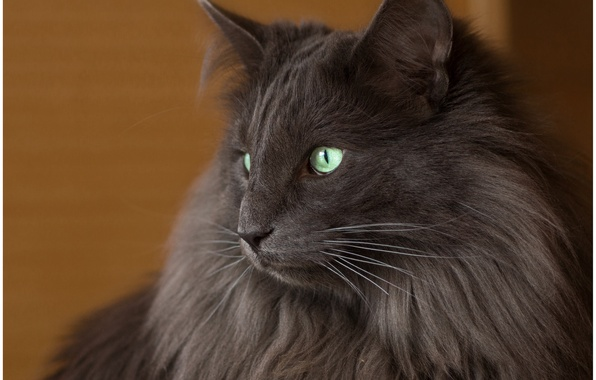 Picture cat, cat, look, background, black, widescreen, Wallpaper, wallpaper, black, widescreen, cat, background, look, full screen, …