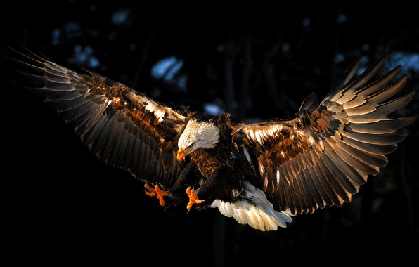 Picture bird, eagle, wings, eagle