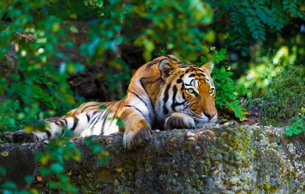Picture greens, tiger, stones, predator, lies, striped, resting, the bushes