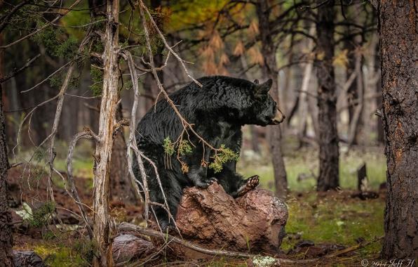 Picture forest, bear, baribal, black bear