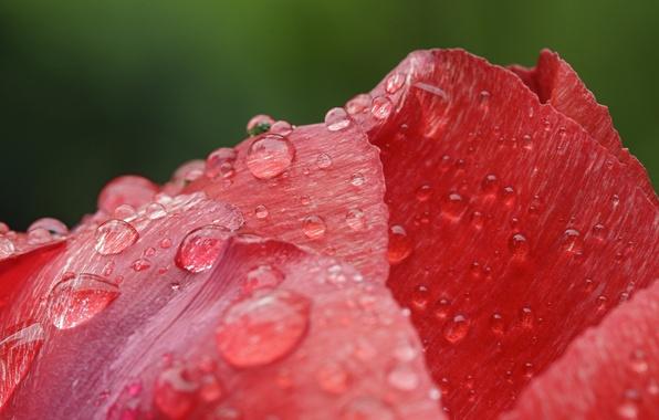 Picture flower, drops, Rosa, petals