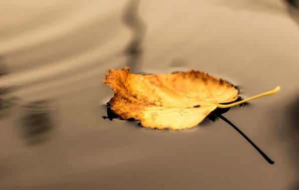 Picture autumn, water, macro, yellow, nature, sheet, shadow