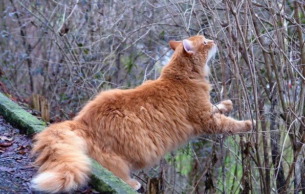 Picture cat, branches, the situation, red, the bushes, curiosity, red cat