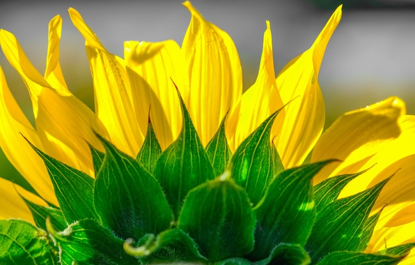Picture flower, sunflower, petals
