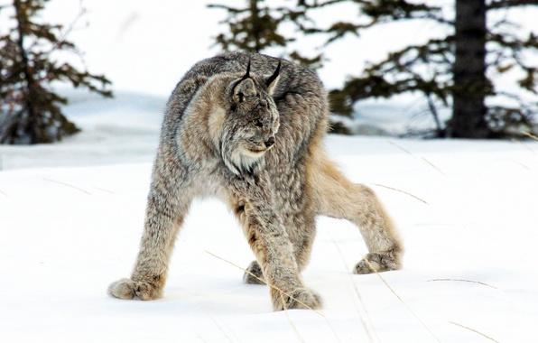 Picture winter, snow, predator, lynx