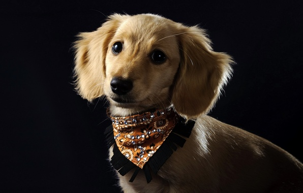 Picture background, dog, collar