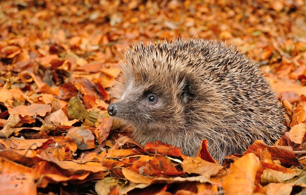 Picture autumn, leaves, hedgehog