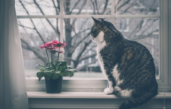 Picture cat, flower, cat, window, gerbera, on the windowsill