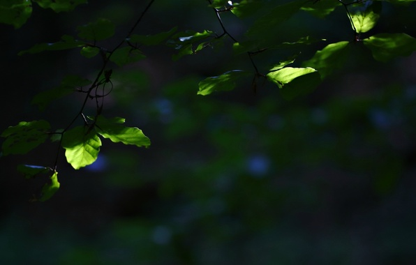 Picture leaves, macro, green, background, tree, widescreen, Wallpaper, blur, branch, leaf, wallpaper, leaf, widescreen, background, full …