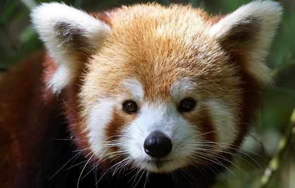 Picture muzzle, firefox, red Panda, Ailurus fulgens