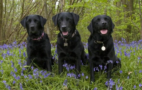 Picture forest, dogs, flowers, bells, trio, Trinity, Labrador Retriever
