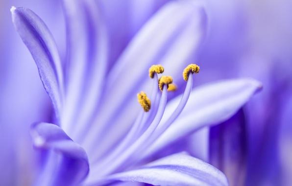 Picture flower, macro, lilac, petals, agapantus