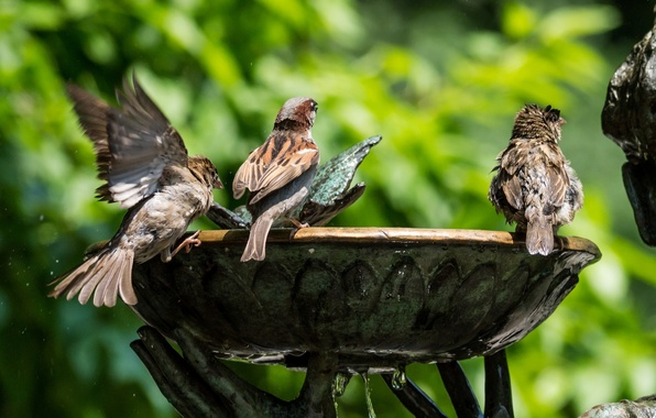 Picture greens, water, birds, fountain, sparrows