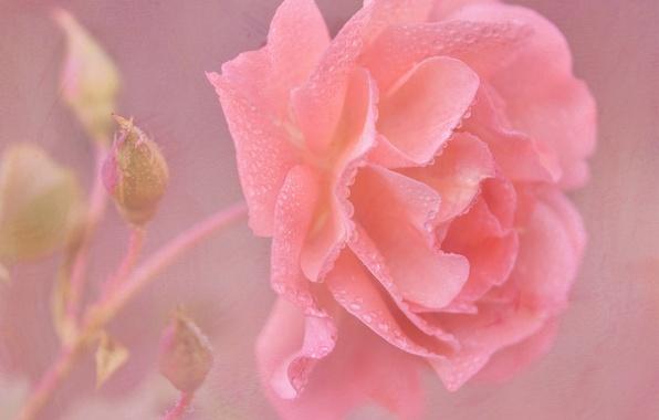 Picture drops, tenderness, rose, texture, petals, art, buds