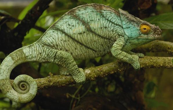 Picture chameleon, branch, Madagascar