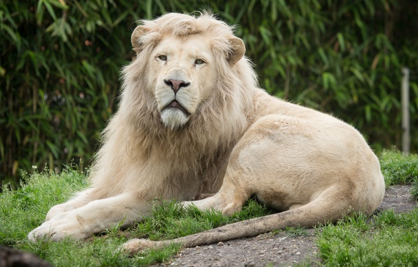 Picture cat, grass, look, stay, white lion