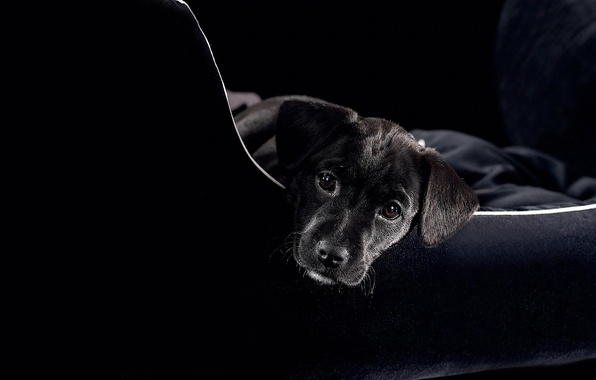 Picture face, sofa, black, dog, puppy, looks