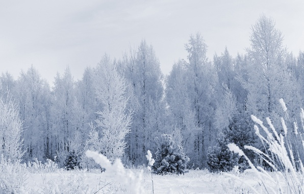 Picture frost, forest, snow, trees, Winter