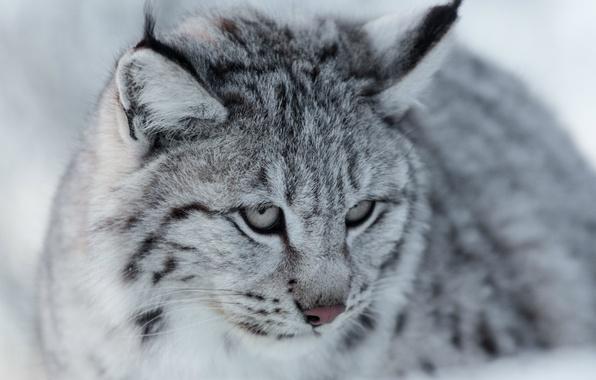 Picture look, portrait, muzzle, grey, lynx, wild cat, Eurasian