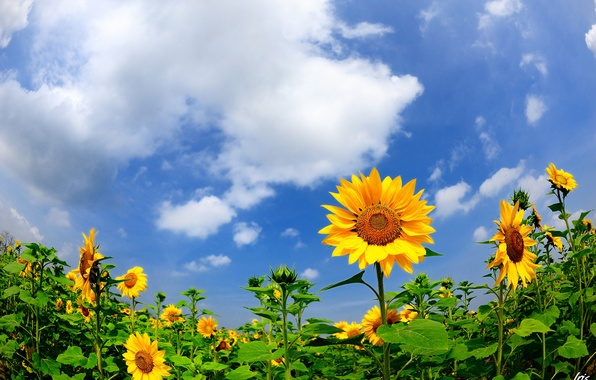 Picture field, summer, sunflowers, nature