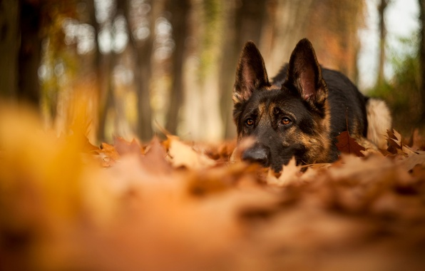 Picture autumn, forest, leaves, nature, dog, blur, lies, shepherd