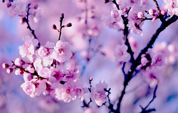 Picture branches, cherry, Sakura, flowering, flowers, bokeh