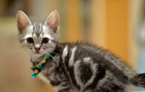 Picture look, kitty, grey, baby, Cat, muzzle, collar