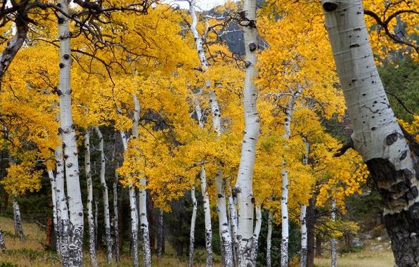Picture autumn, forest, leaves, trees, Colorado, USA, grove, aspen, Aspen