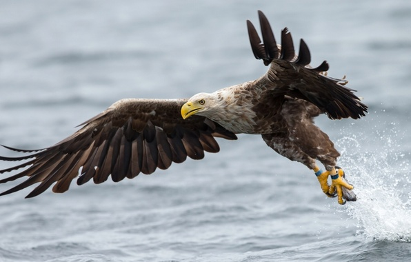Picture water, bird, wings, the rise, White-tailed eagle