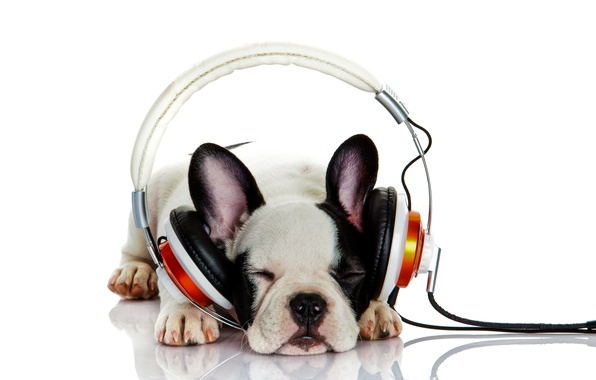 Picture dog, listening to music, headphones, bokeh, French bulldog, wallpaper., bulldog, beautiful background, stay sleep, purebred …