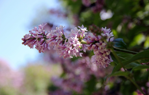 Picture flowers, nature, lilac