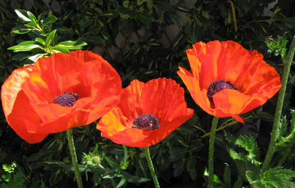 Picture Spring, Spring, Poppy red, Red poppies