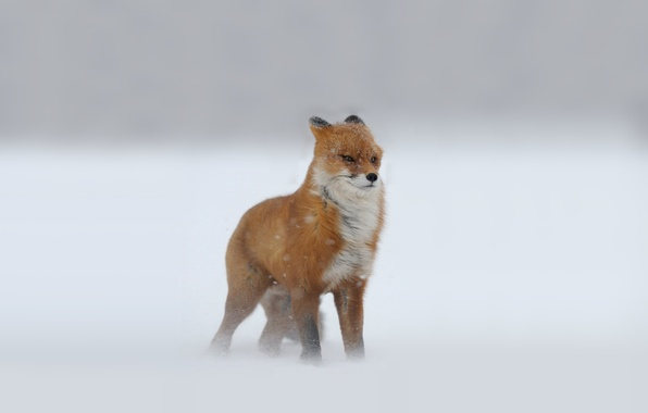 Picture winter, Fox, snow, red, Blizzard, looks