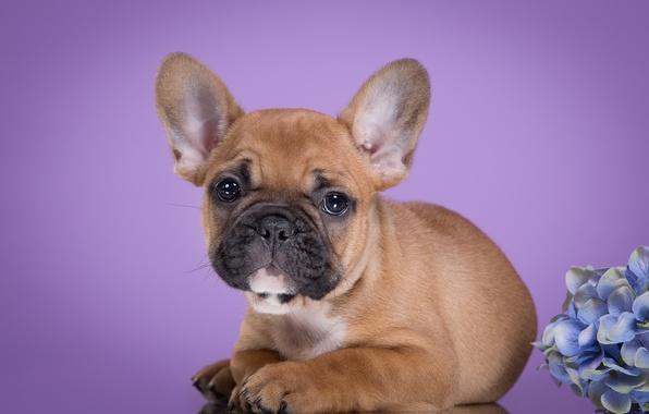 Picture puppy, French bulldog, hydrangea