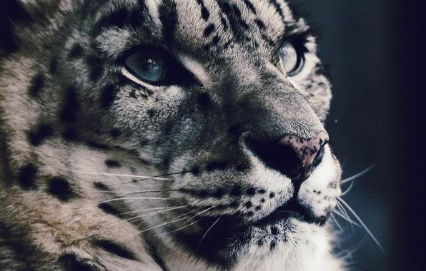 Picture look, face, predator, IRBIS, snow leopard
