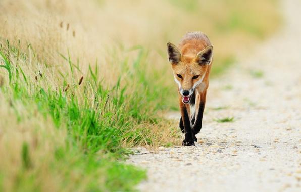 Picture grass, animal, Fox, fox, red Fox