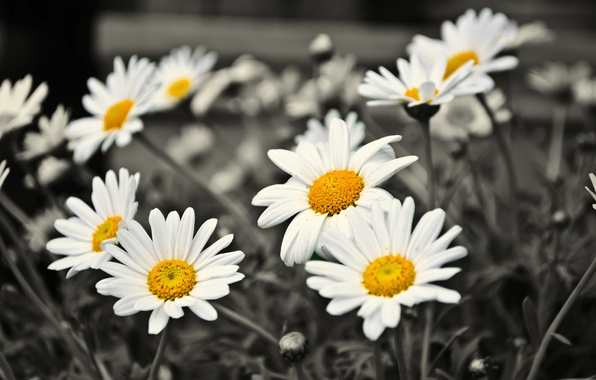 Photo wallpaper flowers, chamomile, black and white