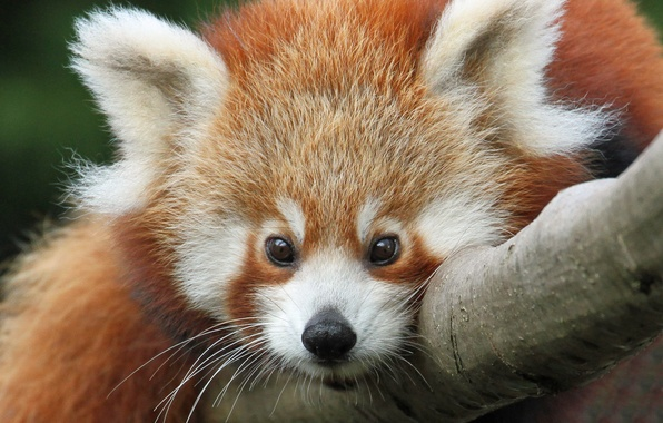 Picture look, face, red Panda, firefox, red Panda